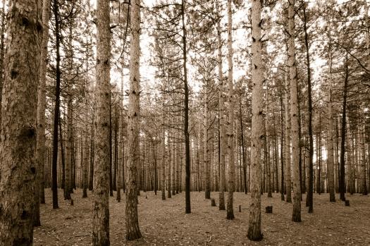 Dark Pine.jpg