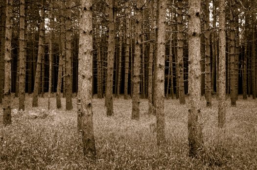 Pine Forest with Grasses